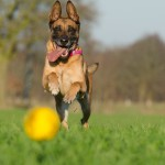 malinois-with-ball-662719_1920