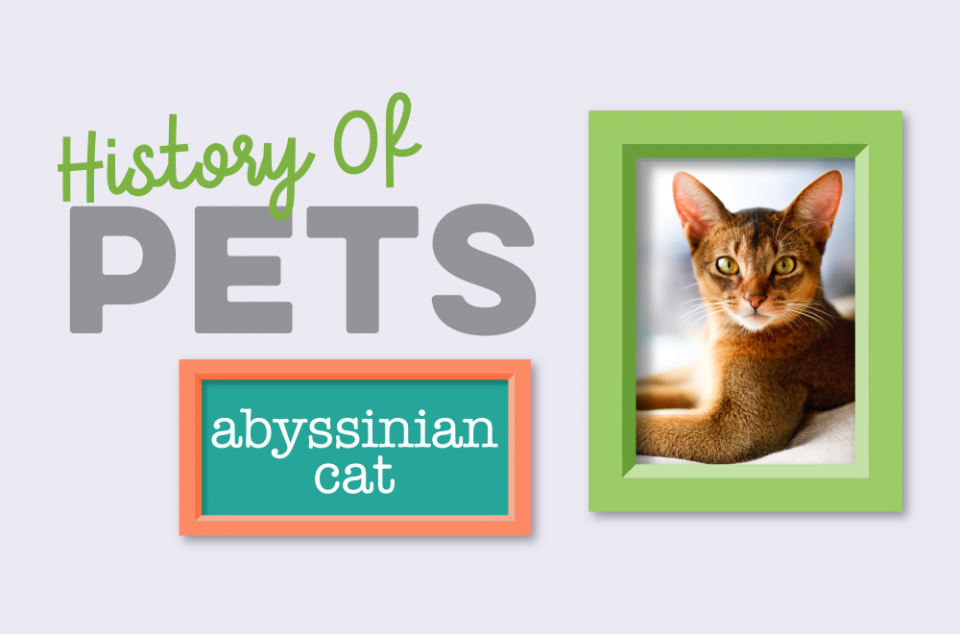 Blog - History of Pets - Abyssinian Cat