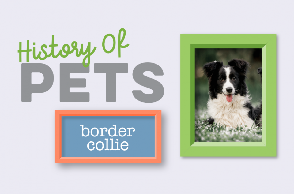 Blog - History of Pets - Border Collie