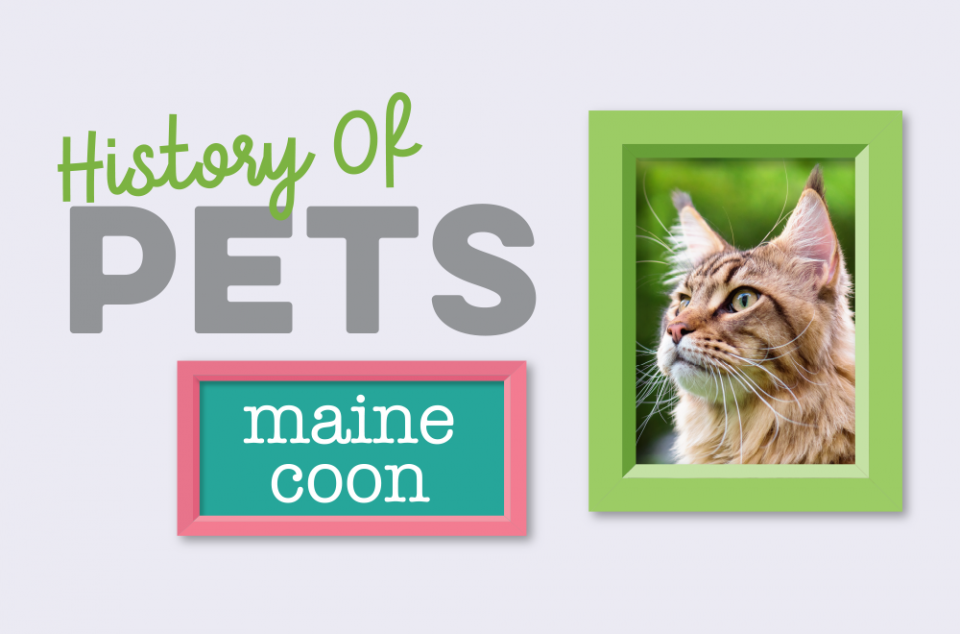 Blog - History of Pets - Maine Coon